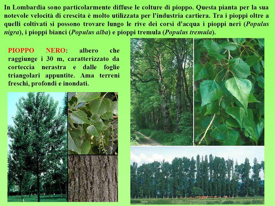 PIOPPO BIANCO: albero anche di 30 m con foglie lobate bianco tomentose sulla faccia inferiore.