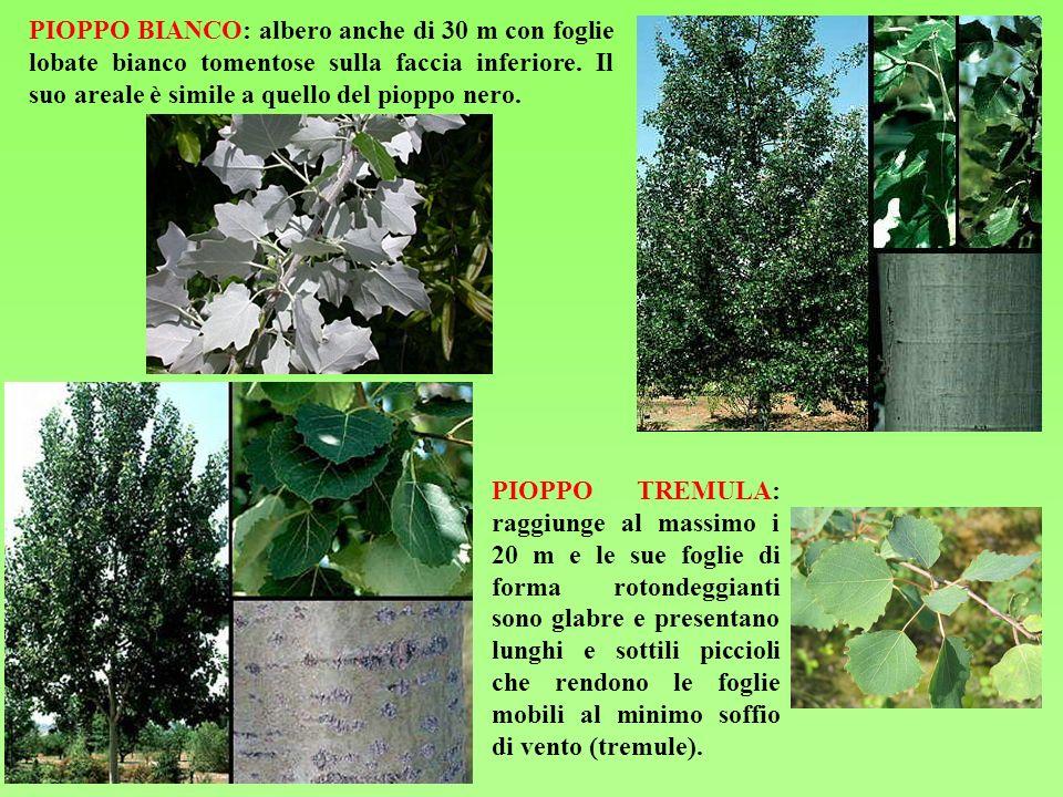 PIOPPO BIANCO: albero anche di 30 m con foglie lobate bianco tomentose sulla faccia inferiore. Il suo areale è simile a quello del pioppo nero. PIOPPO
