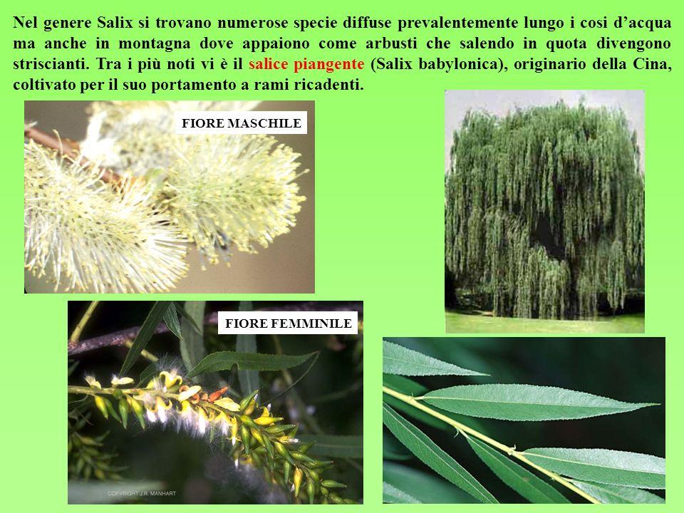 Nel genere Salix si trovano numerose specie diffuse prevalentemente lungo i cosi dacqua ma anche in montagna dove appaiono come arbusti che salendo in