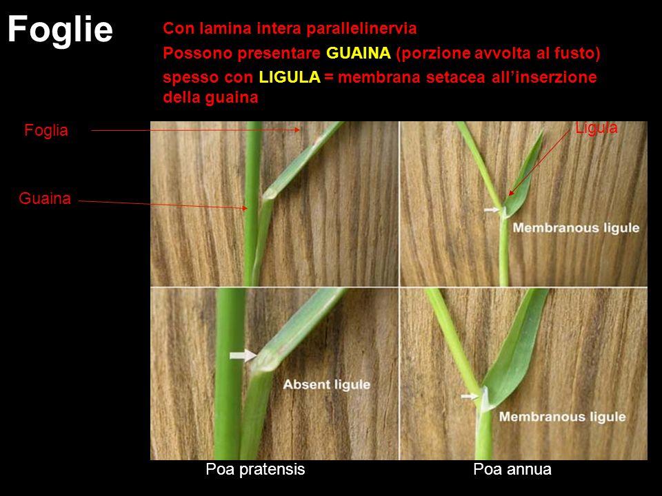 Con lamina intera parallelinervia Possono presentare GUAINA (porzione avvolta al fusto) spesso con LIGULA = membrana setacea allinserzione della guain
