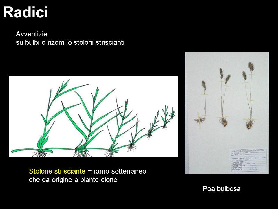 Radici Avventizie su bulbi o rizomi o stoloni striscianti Poa bulbosa Stolone strisciante = ramo sotterraneo che da origine a piante clone