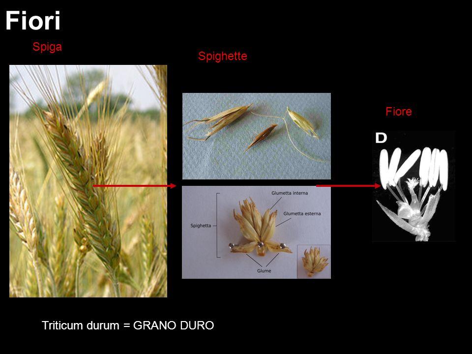 Fiori Spiga Spighette Fiore Triticum durum = GRANO DURO