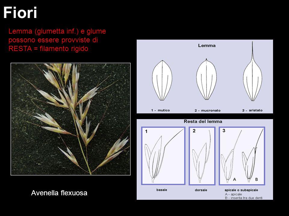 Fiori Lemma (glumetta inf.) e glume possono essere provviste di RESTA = filamento rigido Avenella flexuosa