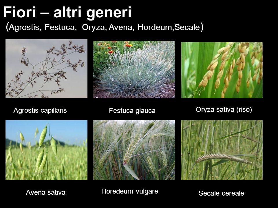 ( Agrostis, Festuca, Oryza, Avena, Hordeum,Secale ) Fiori – altri generi Agrostis capillaris Festuca glauca Oryza sativa (riso) Secale cereale Avena s