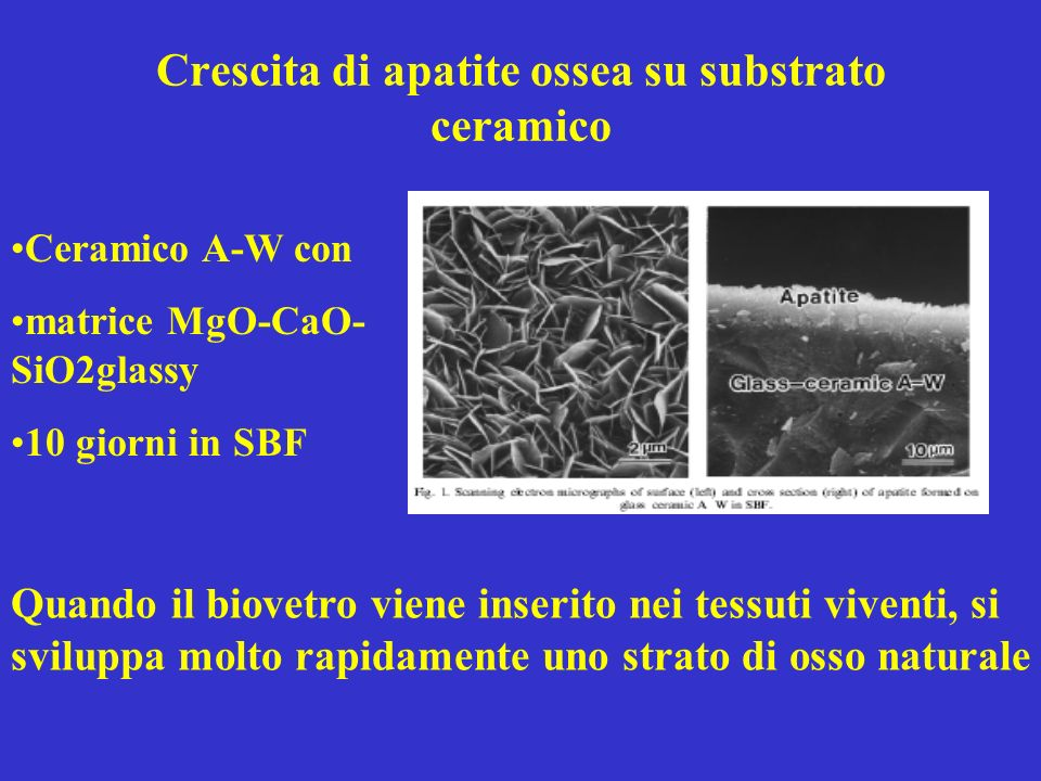 Crescita di apatite ossea su substrato ceramico Ceramico A-W con matrice MgO-CaO- SiO2glassy 10 giorni in SBF Quando il biovetro viene inserito nei tessuti viventi, si sviluppa molto rapidamente uno strato di osso naturale