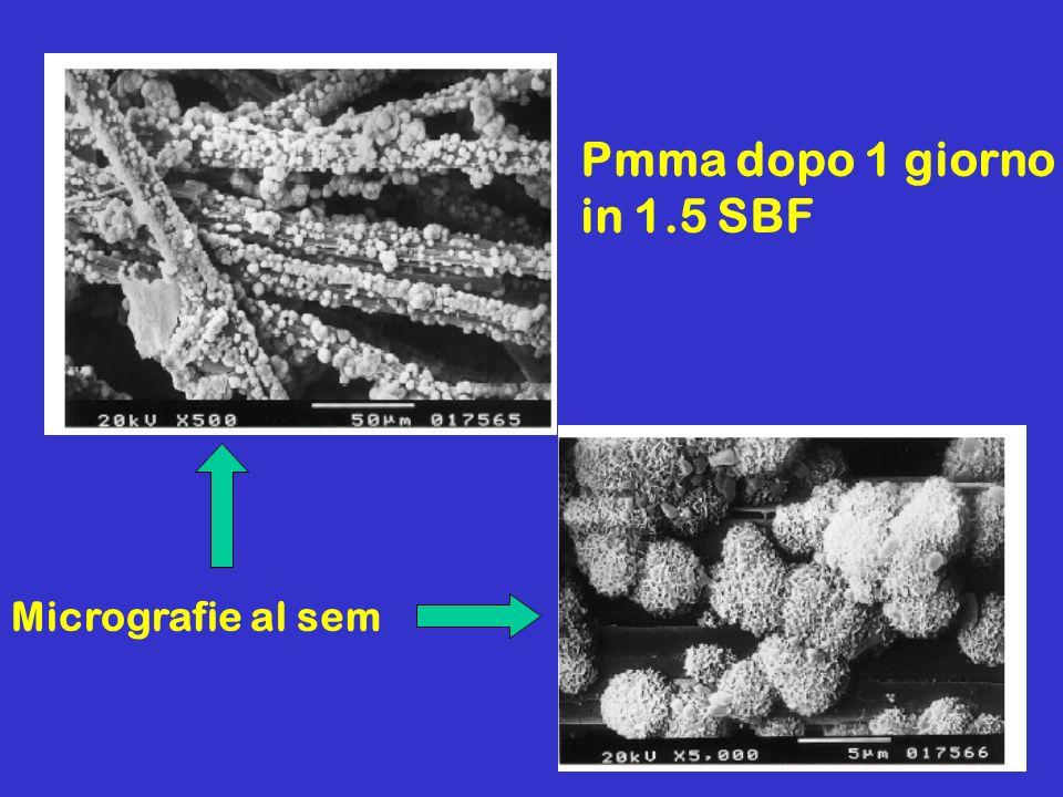 Pmma dopo 1 giorno in 1.5 SBF Micrografie al sem