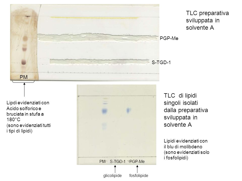 PM TLC preparativa sviluppata in solvente A TLC di lipidi singoli isolati dalla preparativa sviluppata in solvente A Lipdi evidenziati con Acido solforico e bruciata in stufa a 180°C (sono evidenziati tutti i tipi di lipidi) Lipidi evidenziati con il blu di molibdeno (sono evidenziati solo i fosfolipidi) PM S-TGD-1 PGP-Me glicolipide fosfolipide S-TGD-1 PGP-Me