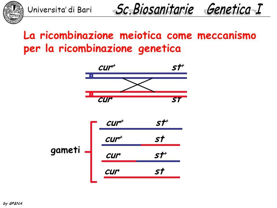 La ricombinazione meiotica come meccanismo per la ricombinazione genetica cur + st + cur st gameti cur + st + cur st cur st + cur + st Universita di B