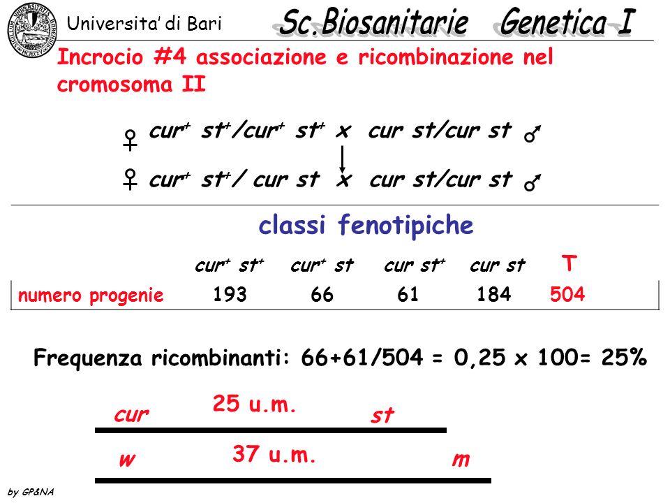 Incrocio #4 associazione e ricombinazione nel cromosoma II cur + st + /cur + st + x cur st/cur st cur + st + / cur st x cur st/cur st classi fenotipic