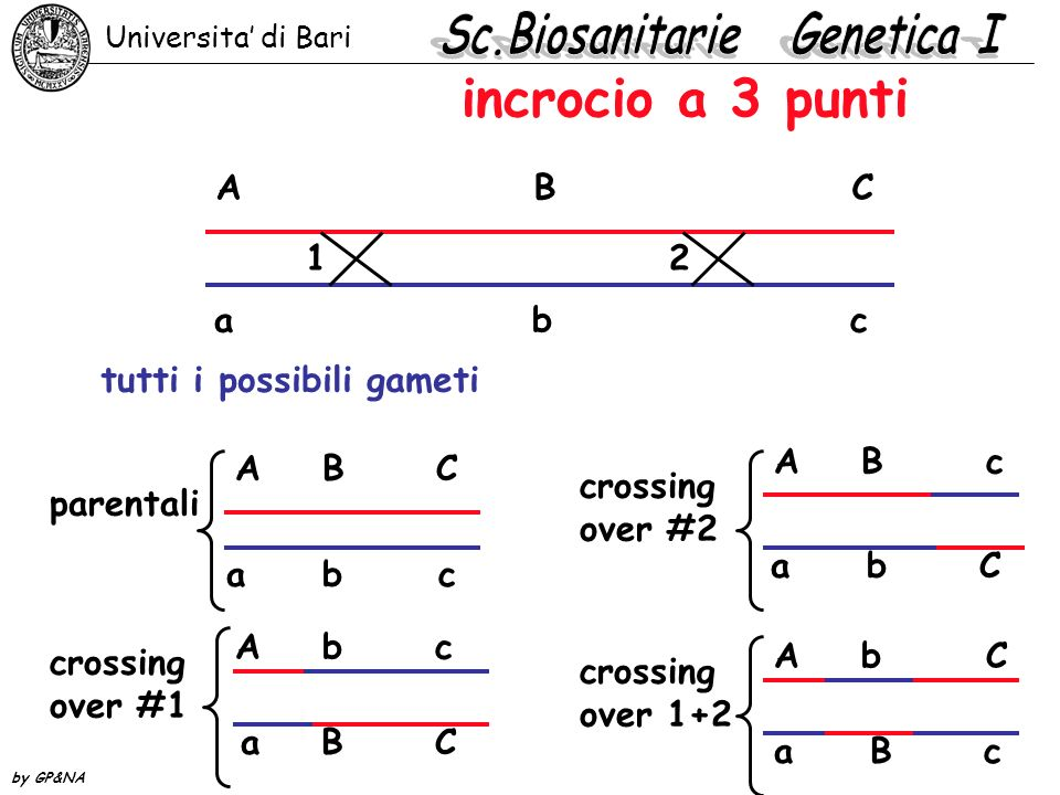 incrocio a 3 punti A BC abcabc tutti i possibili gameti A B C a bc parentali 1 2 crossing over #1 A b c a B C crossing over #2 A Bc a b C crossing over 1+2 A bC a B c Universita di Bari by GP&NA