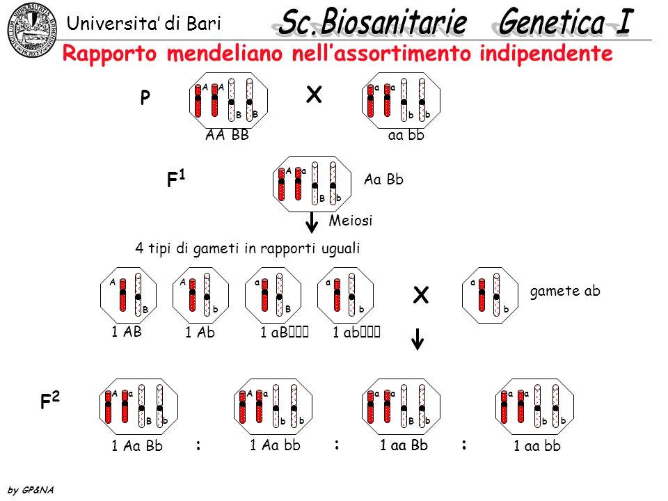 Rapporto mendeliano nellassortimento indipendente Universita di Bari by GP&NA AA B B aa b b Aa B b A B A b a B a b a b Aa B b Aa b b aa B b aa b b X P