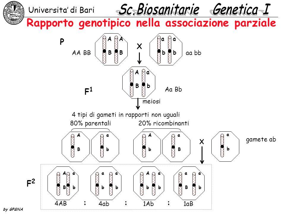 Rapporto genotipico nella associazione parziale Universita di Bari by GP&NA AA BB a a bb X P F1F1 AA BB Aa Bb aa bb Aa Bb A B a b A b a B a b meiosi 4