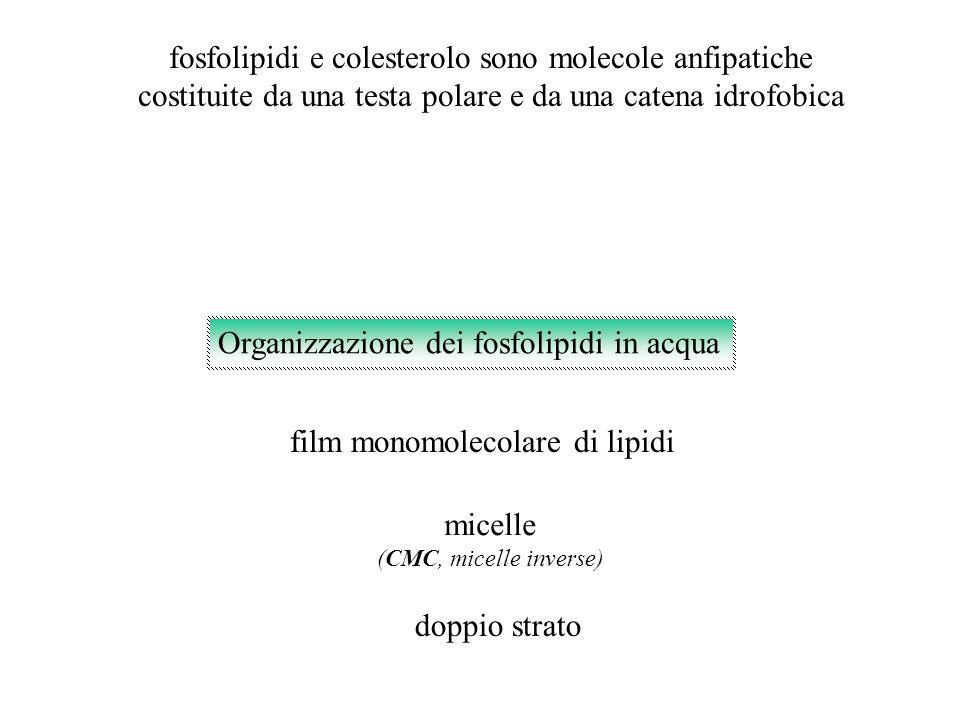 film monomolecolare di lipidi fosfolipidi e colesterolo sono molecole anfipatiche costituite da una testa polare e da una catena idrofobica micelle (C