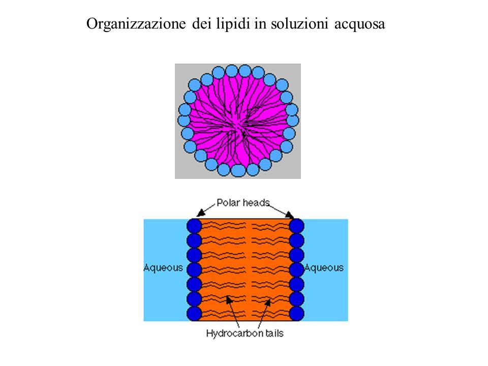 Organizzazione dei lipidi in soluzioni acquosa