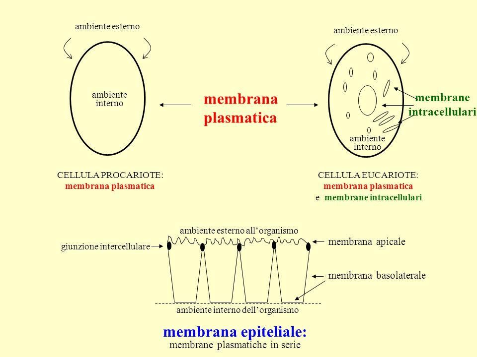 COMPOSIZIONE CHIMICA Membrane plasmatiche e intracellulari sono molto simili, sia per struttura che per composizione: LIPIDI PROTEINE GLUCIDI (glicolipidi e glicoproteine) (in minore quantità, in membrane plasmatiche di alcune cellule) (fosfolipidi e colesterolo) (estrinseche ed intrinseche)
