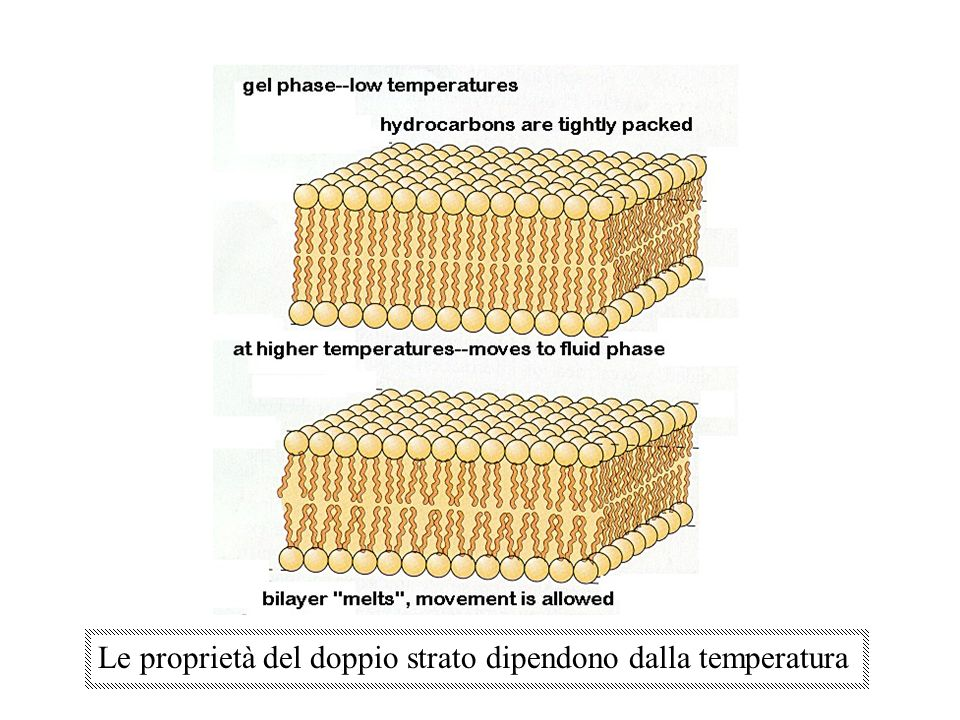 MODELLI DI MEMBRANA 1) impalcatura rigida solo di lipidi 2) Ober: esistenza di discontinuità tra i lipidi x la permeazione 3) Davson e Danielli (anni 30-40): compare la matrice proteica, ma in piccole zone e adese ai due foglietti di fosfolipidi 4) Singer e Nicolson (anni 50-60): mediante microscopia elettronica e tecniche di freeze-fracture si dimostrò che i fosfolipidi formano un doppio strato nel quale si inseriscono le proteine.