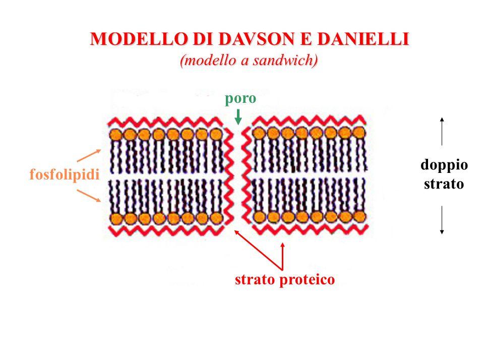 MODELLO DI DAVSON E DANIELLI (modello a sandwich) poro doppio strato strato proteico fosfolipidi
