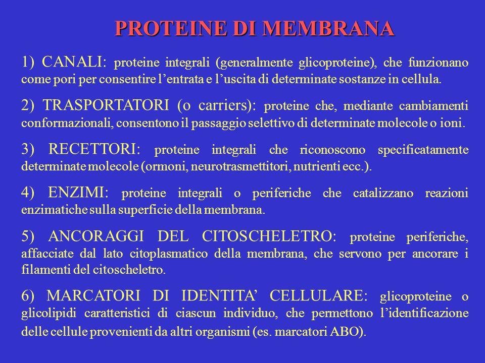 PROTEINE DI MEMBRANA 1) CANALI: proteine integrali (generalmente glicoproteine), che funzionano come pori per consentire lentrata e luscita di determi
