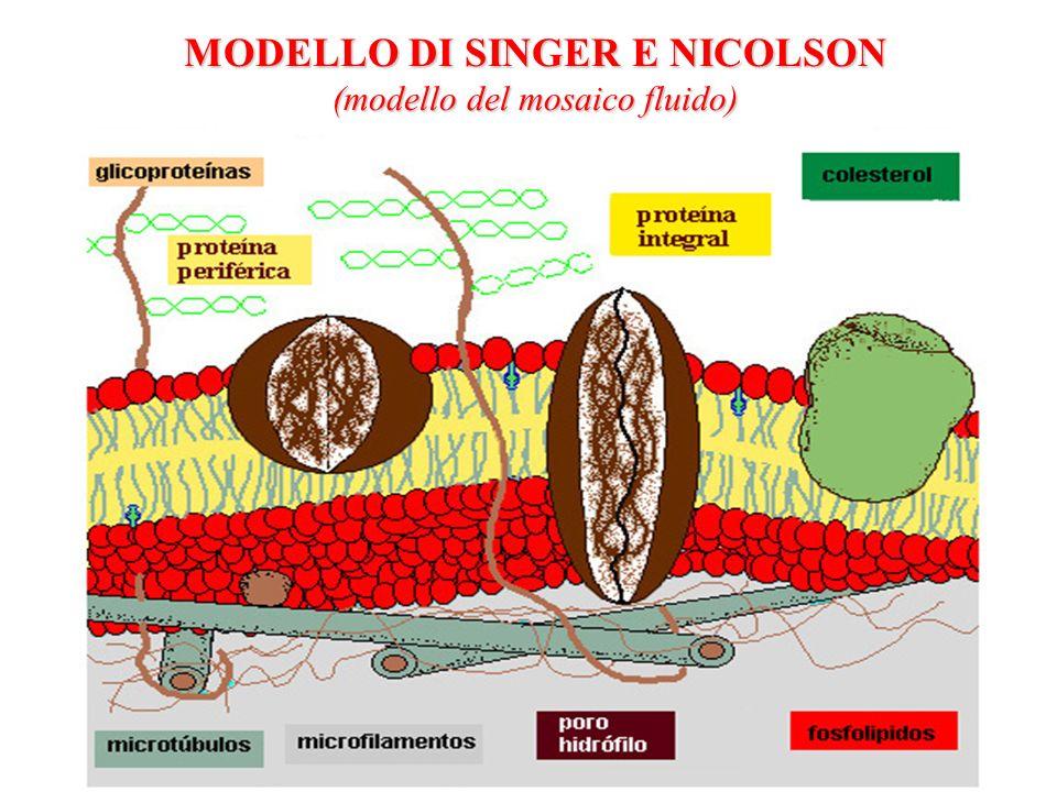 MODELLO DI SINGER E NICOLSON (modello del mosaico fluido)