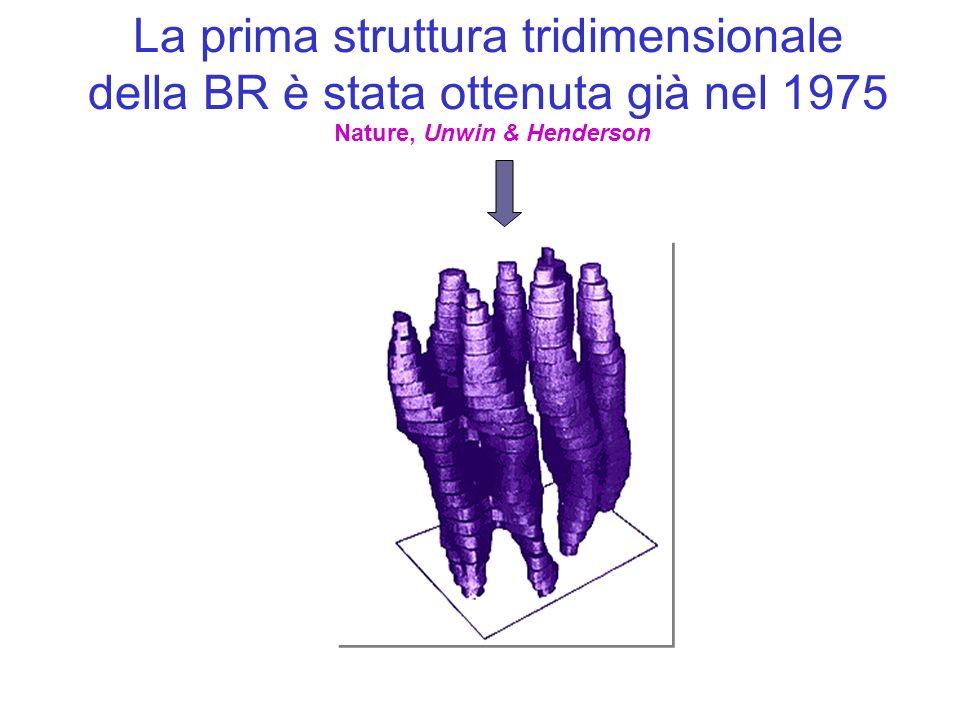 La prima struttura tridimensionale della BR è stata ottenuta già nel 1975 Nature, Unwin & Henderson