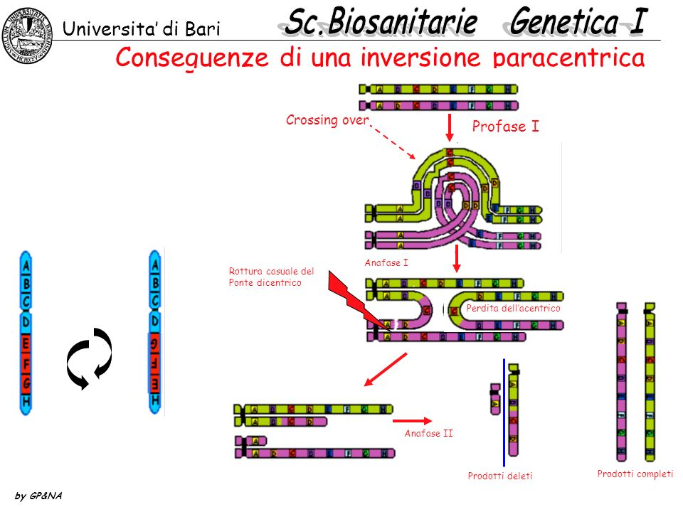 Visualizziamo le inversioni in Drosophila Universita di Bari by GP&NA