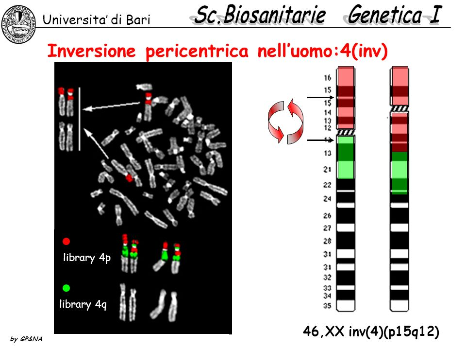Inversione pericentrica nelluomo:4(inv) Universita di Bari by GP&NA 46,XX inv(4)(p15q12) library 4q library 4p