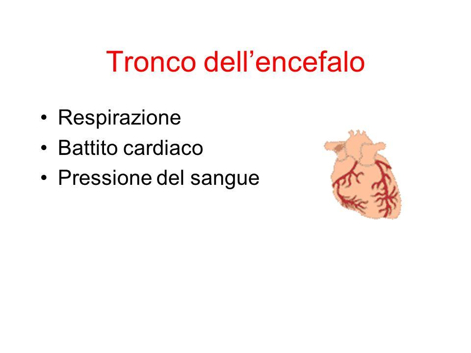 Tronco dellencefalo Respirazione Battito cardiaco Pressione del sangue