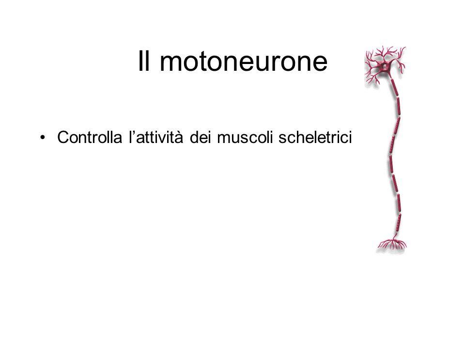 Il motoneurone Controlla lattività dei muscoli scheletrici