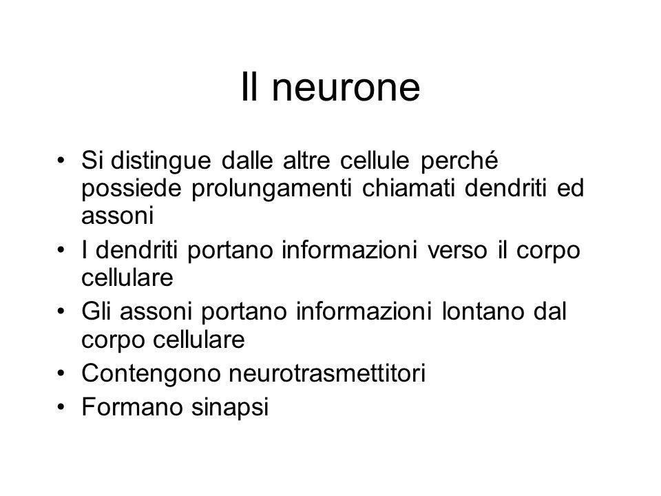Il neurone Si distingue dalle altre cellule perché possiede prolungamenti chiamati dendriti ed assoni I dendriti portano informazioni verso il corpo c