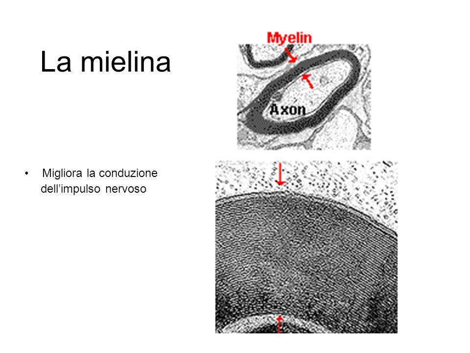 La mielina Migliora la conduzione dellimpulso nervoso