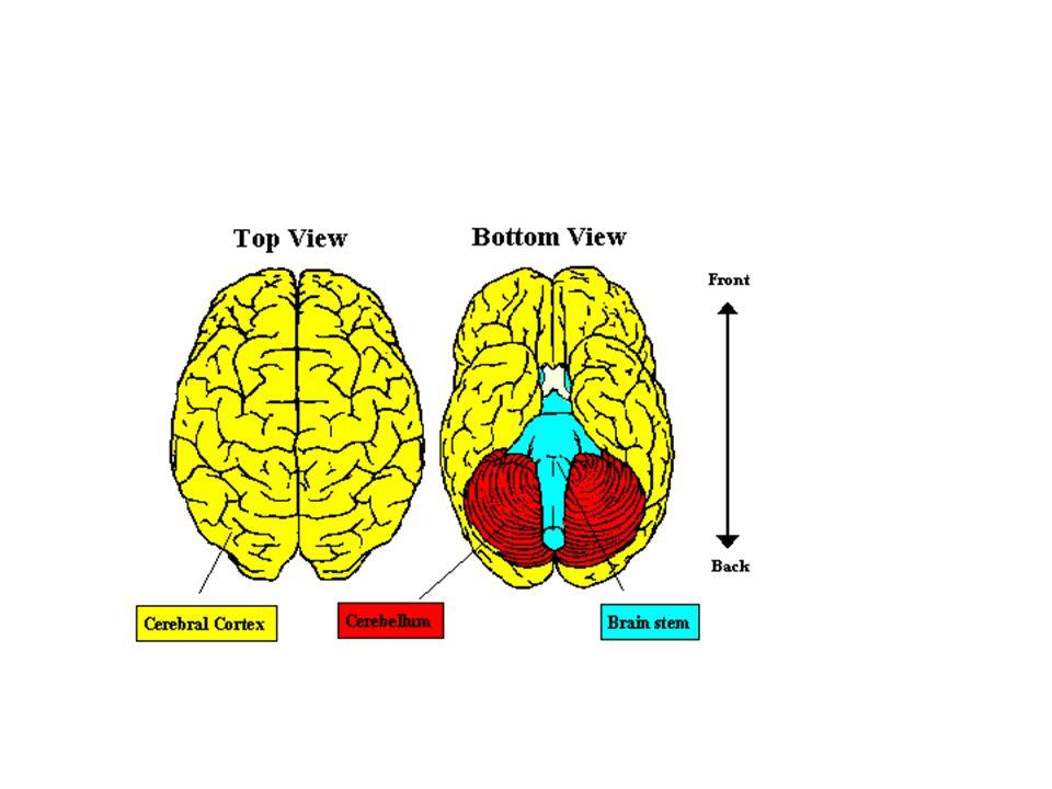 Cellule del cervello neuroni (circa 100 billioni) cellule della glia (sono trillioni)