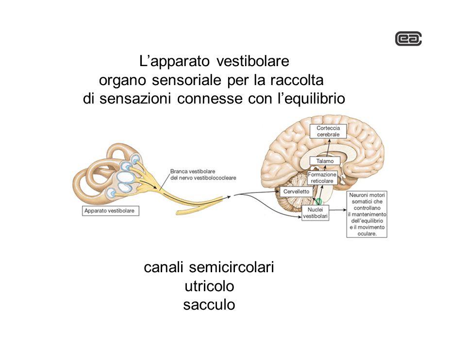 Lapparato vestibolare organo sensoriale per la raccolta di sensazioni connesse con lequilibrio canali semicircolari utricolo sacculo