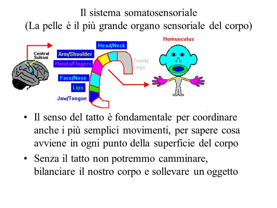 Il sistema somatosensoriale (La pelle è il più grande organo sensoriale del corpo) Il senso del tatto è fondamentale per coordinare anche i più semplici movimenti, per sapere cosa avviene in ogni punto della superficie del corpo Senza il tatto non potremmo camminare, bilanciare il nostro corpo e sollevare un oggetto