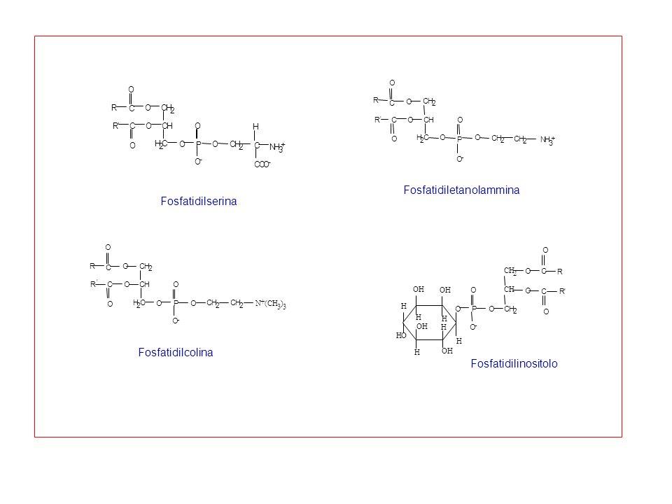R O CH 2 C O CHOCR' O H 2 C O P O O - O CH 2 C NH 3 + H COO - Fosfatidilserina Fosfatidiletanolammina NH 3 + O O - O P OH 2 C O RCOCH ' O C CH 2 O R C
