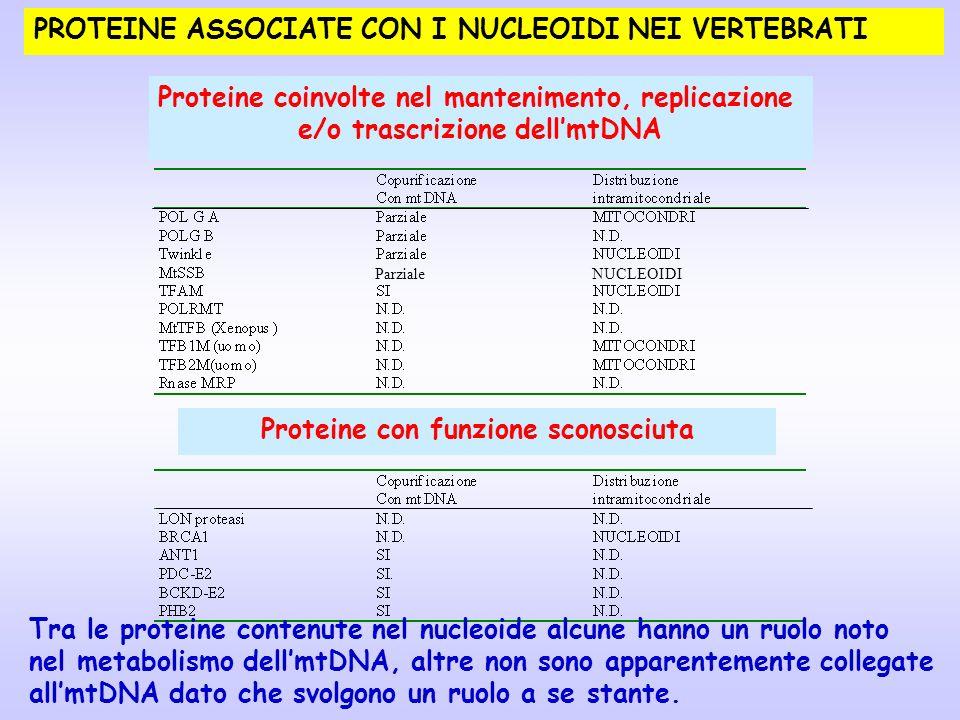 PROTEINE ASSOCIATE CON I NUCLEOIDI NEI VERTEBRATI Proteine coinvolte nel mantenimento, replicazione e/o trascrizione dellmtDNA Proteine con funzione s