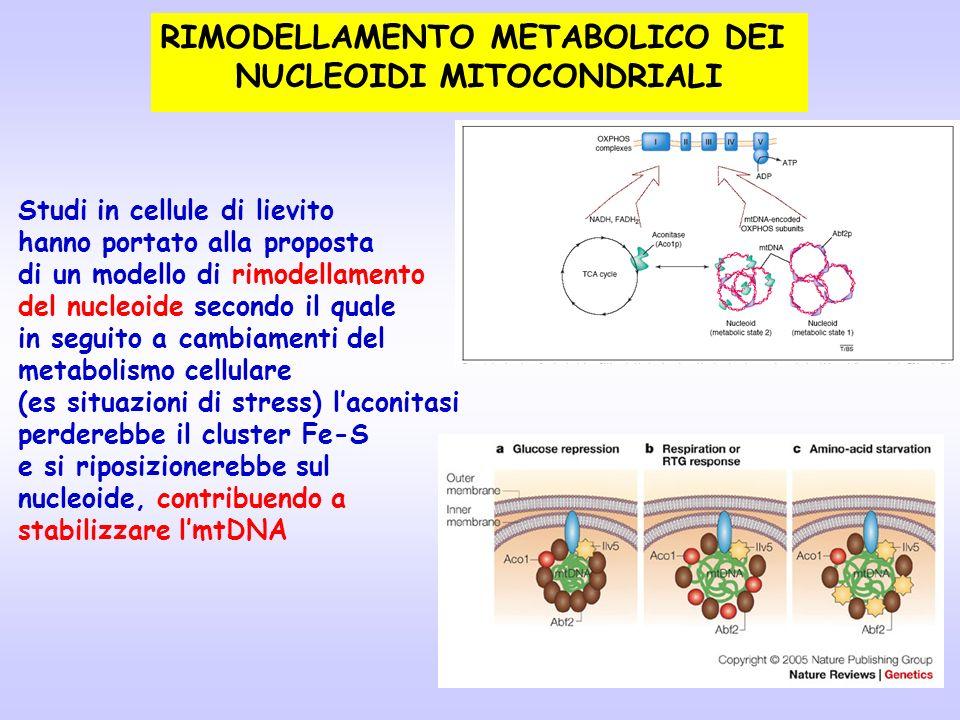 Studi in cellule di lievito hanno portato alla proposta di un modello di rimodellamento del nucleoide secondo il quale in seguito a cambiamenti del me