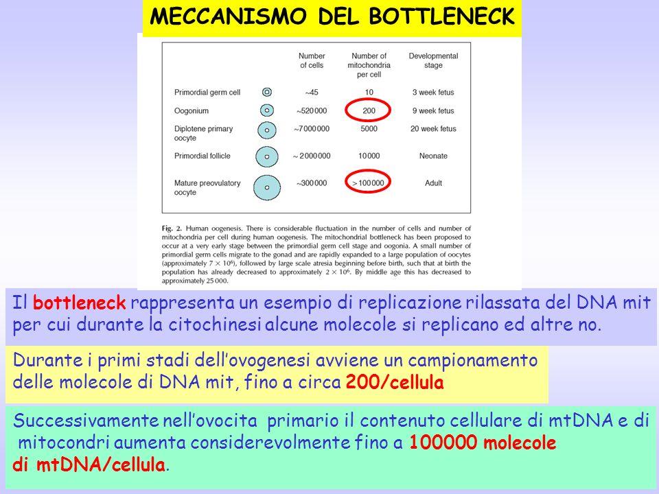 Il bottleneck rappresenta un esempio di replicazione rilassata del DNA mit per cui durante la citochinesi alcune molecole si replicano ed altre no. Du