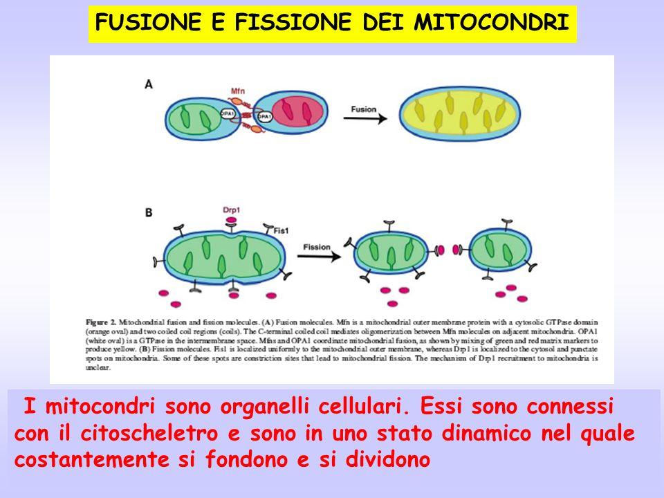 FUSIONE E FISSIONE DEI MITOCONDRI I mitocondri sono organelli cellulari. Essi sono connessi con il citoscheletro e sono in uno stato dinamico nel qual
