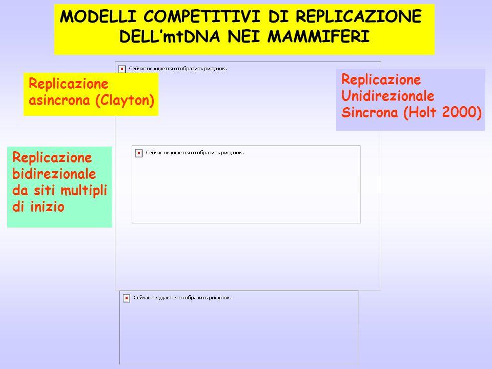 MODELLI COMPETITIVI DI REPLICAZIONE DELLmtDNA NEI MAMMIFERI Replicazione asincrona (Clayton) Replicazione Unidirezionale Sincrona (Holt 2000) Replicaz