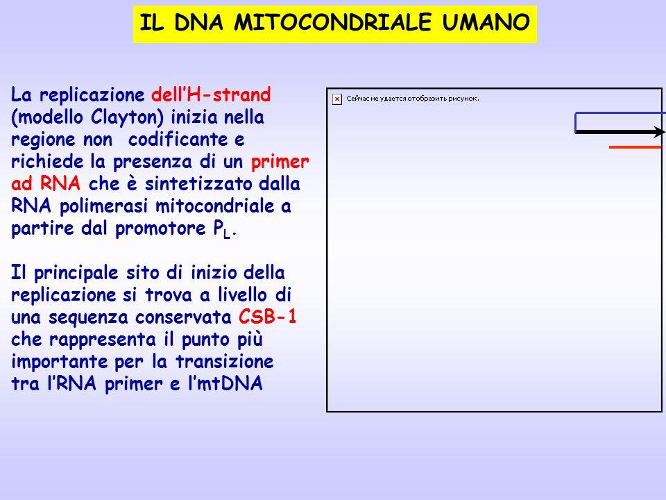 La replicazione dellH-strand (modello Clayton) inizia nella regione non codificante e richiede la presenza di un primer ad RNA che è sintetizzato dall