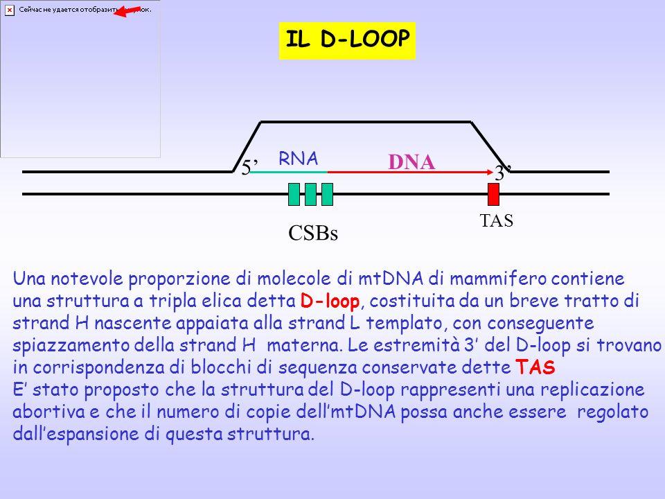 TAS RNA DNA CSBs 5 3 IL D-LOOP Una notevole proporzione di molecole di mtDNA di mammifero contiene una struttura a tripla elica detta D-loop, costitui