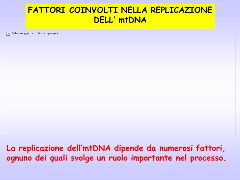 FATTORI COINVOLTI NELLA REPLICAZIONE DELL mtDNA La replicazione dellmtDNA dipende da numerosi fattori, ognuno dei quali svolge un ruolo importante nel