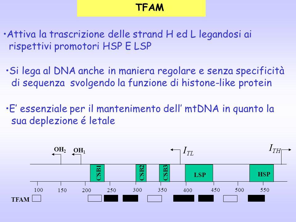 TFAM Attiva la trascrizione delle strand H ed L legandosi ai rispettivi promotori HSP E LSP Si lega al DNA anche in maniera regolare e senza specifici
