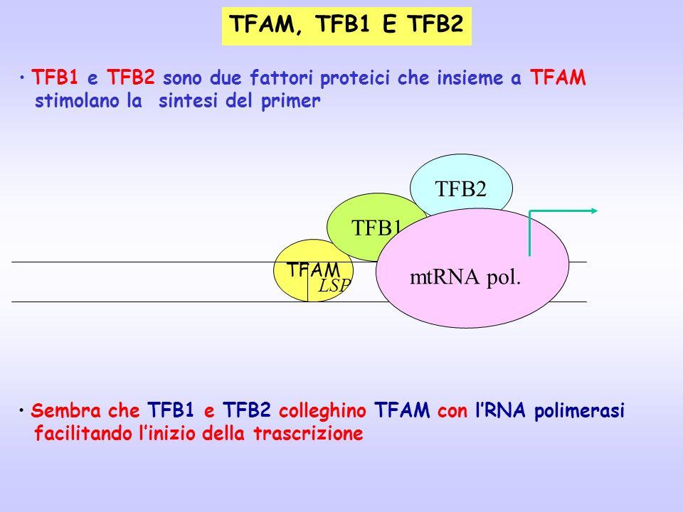 TFAM, TFB1 E TFB2 TFAM LSP TFB1 TFB2 TFB1 e TFB2 sono due fattori proteici che insieme a TFAM stimolano la sintesi del primer Sembra che TFB1 e TFB2 c