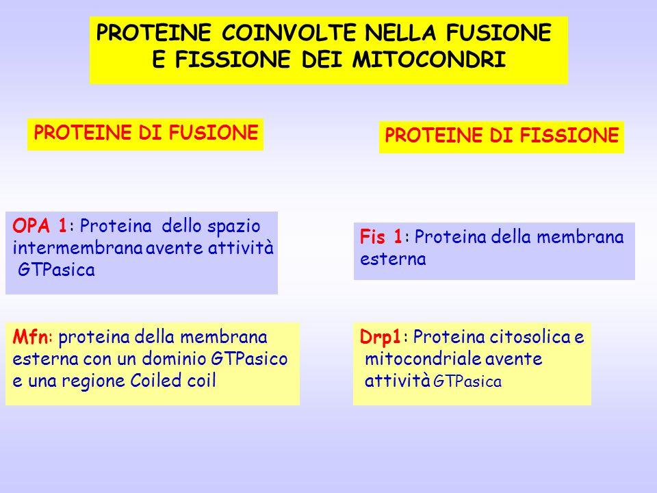 PROTEINE DI FUSIONE OPA 1: Proteina dello spazio intermembrana avente attività GTPasica Mfn: proteina della membrana esterna con un dominio GTPasico e