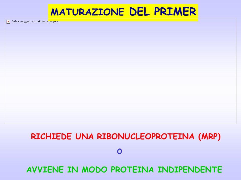 MATURAZIONE DEL PRIMER RICHIEDE UNA RIBONUCLEOPROTEINA (MRP) o AVVIENE IN MODO PROTEINA INDIPENDENTE