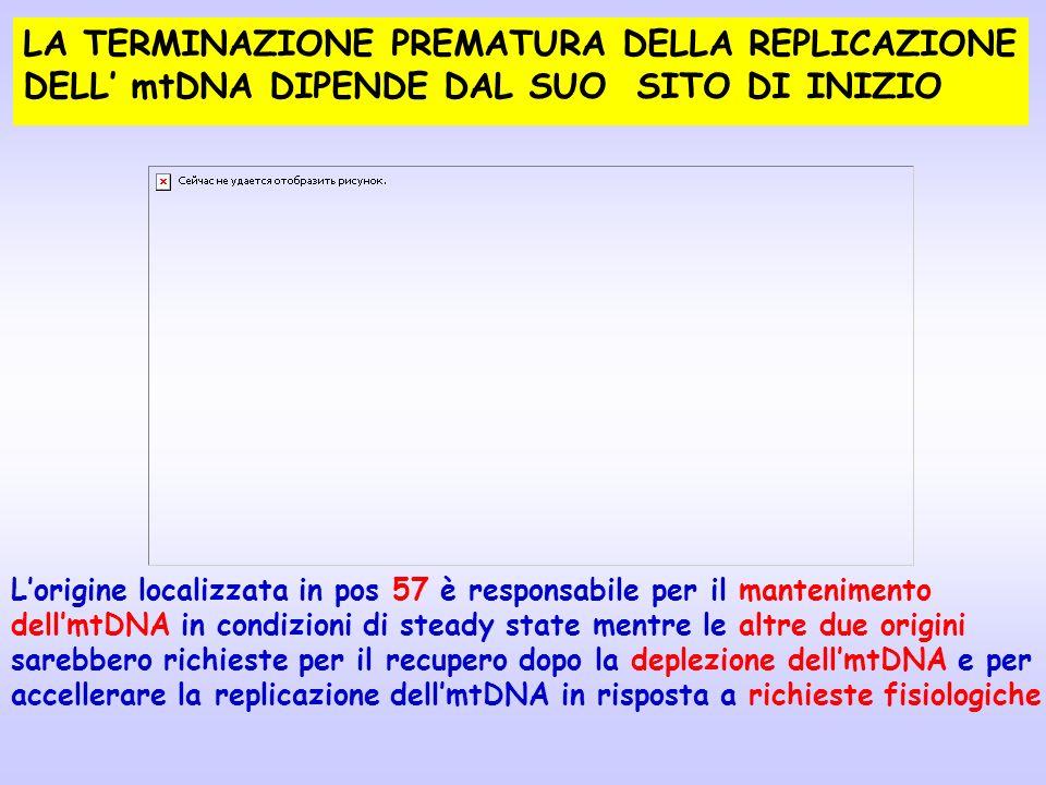 LA TERMINAZIONE PREMATURA DELLA REPLICAZIONE DELL mtDNA DIPENDE DAL SUO SITO DI INIZIO Lorigine localizzata in pos 57 è responsabile per il mantenimen