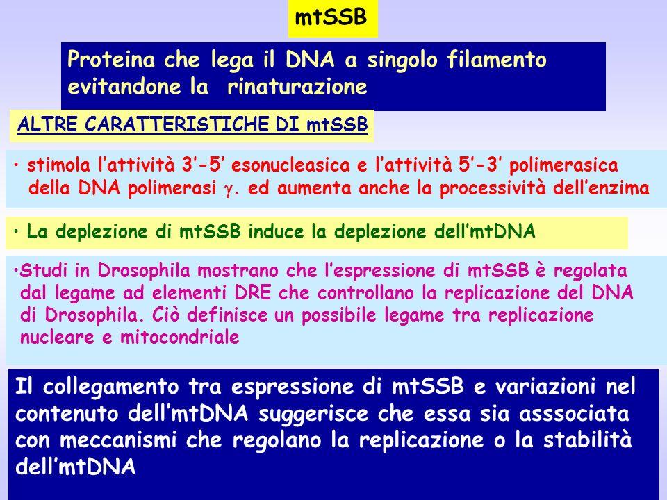 mtSSB Proteina che lega il DNA a singolo filamento evitandone la rinaturazione stimola lattività 3-5 esonucleasica e lattività 5-3 polimerasica della