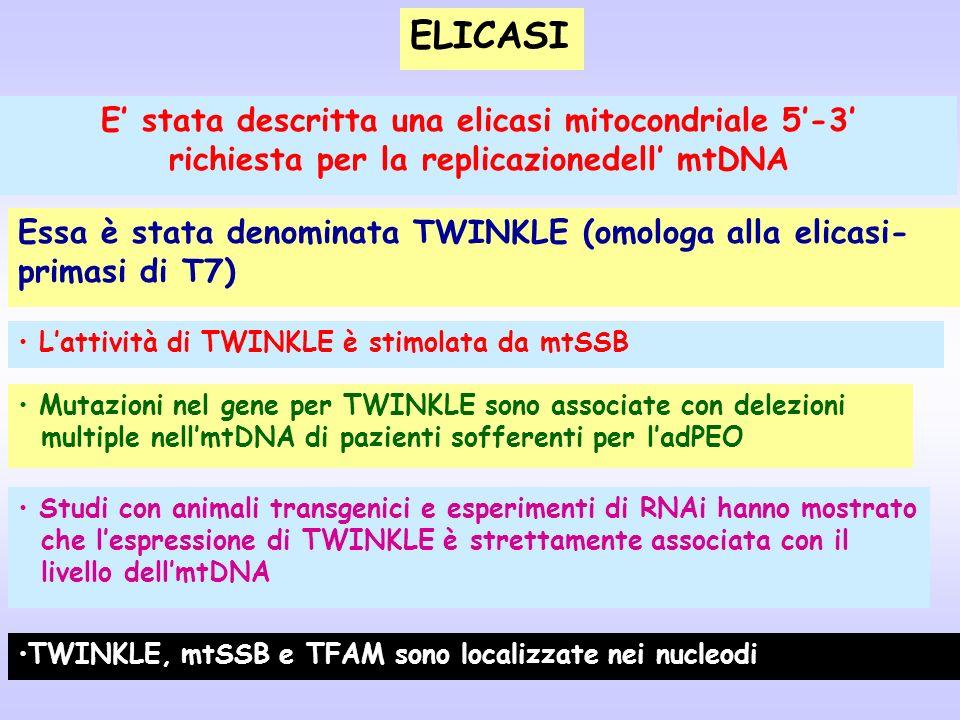 ELICASI E stata descritta una elicasi mitocondriale 5-3 richiesta per la replicazionedell mtDNA Lattività di TWINKLE è stimolata da mtSSB Mutazioni ne
