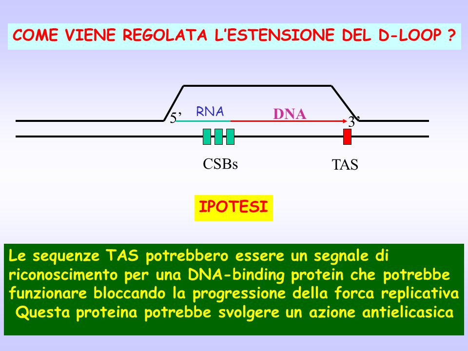 Le sequenze TAS potrebbero essere un segnale di riconoscimento per una DNA-binding protein che potrebbe funzionare bloccando la progressione della for